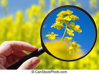 plant, colza, tsjech, -, /, ecologisch, raapzaad, landbouw, landbouw