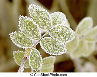 Green leaves of the plant covered with morning frost