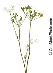 plant cumin - fresh plant of unripe cumin on white ...