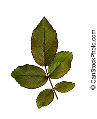 plant, damast, roos, bladeren, op, achtergrond., afsluiten, witte