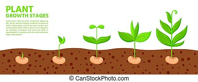 plant, eco, spruit, spandoek, vector, groei, stadia, zaad