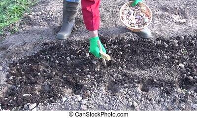 Woman senior making holes in preparation to plant garlics in autumn garden