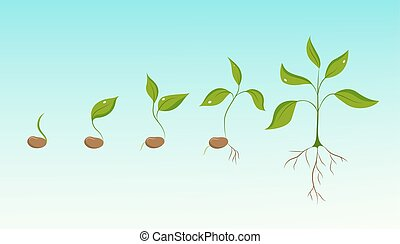 Plant growth evolution from bean seed to sapling - Plant...
