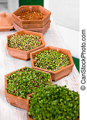 plant growth phases lentils sprouting