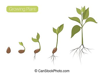 Plant growth phases stages flat vector illustration. Evolution germination progress concept. Seed, bean, sprout, tree.