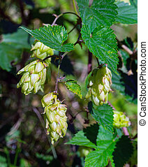 plant hops