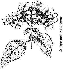 Plant Hydrangea bretschneideri - Branch of Plant Hydrangea...