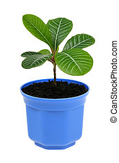 plant in blue pot isolated on white background