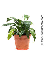 Plant in brown pot, isolate on white background