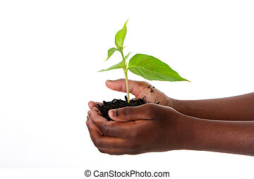 A young new plant growing from palm in hands of African child, isolated. Drought on Earth concept.