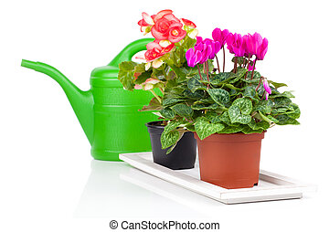 plant in flowerpot and green watering can, isolated on white