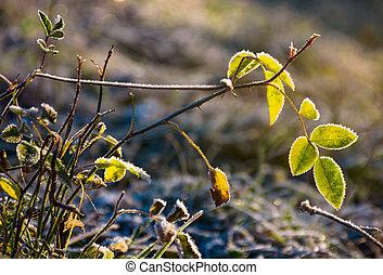 plant in hoar frost in morning light. lovely nature...
