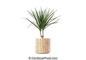 Plant in wicker pot isolated on white background