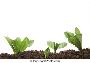 plant, jonge, seedlings