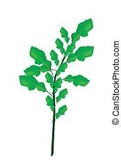 plant, kaffir, achtergrond, fris, witte , kalk