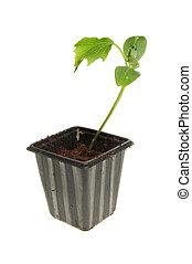 plant, komkommer