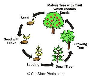 Plant Life Cycle Diagram