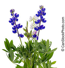 wild blue lupine - Plant of a tiny wild blue lupine isolated...