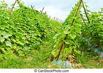 Plant of cucumber in countryside Thailand.