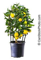 Plant of lemon in flowerpot isolated on white.