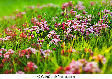 Alpine meadow - Plant of pink flower at Alpine meadow