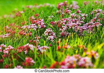 Alpine meadow - Plant of pink flower at Alpine meadow