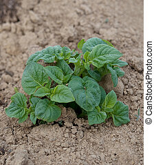 plant of potato