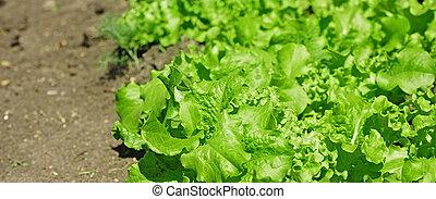 plant of salad in garden