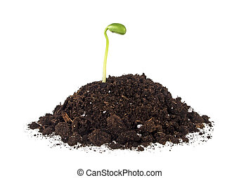 Plant of soy in soil isolated on a white background