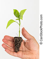 plant of tomato isolated on white