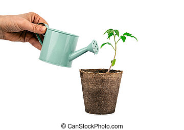 plant of tomato with hand and watering can isolated on white