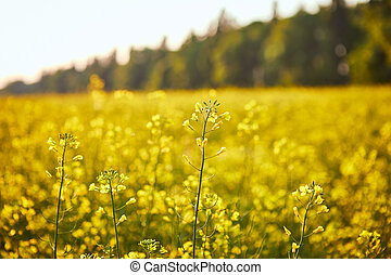 plant, olie, energie, gele, field., raapzaad, bloeien, groene, industrie