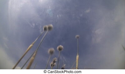 plant on a wind under quickly flying clouds - northern plant...