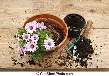 plant, osteospermum, potting, bankje