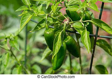 plant, peper, tuin, jalapeno