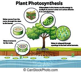 plant, photosynthesis, diagram, het tonen