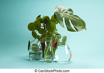 plant Pilea peperomioide and monstera and water