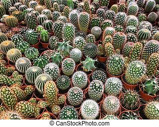 plant, planten, cactus, verzameling, velen, potted, cactussen, kleine, -