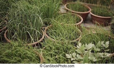 plant, poireau, horizontal, panorama