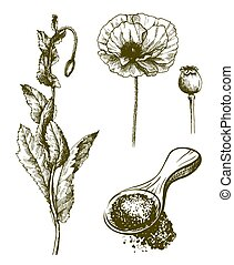 plant poppy. flower, bud and poppy seeds. Set of vector sketches on white background.