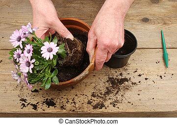 plant, potting, handen