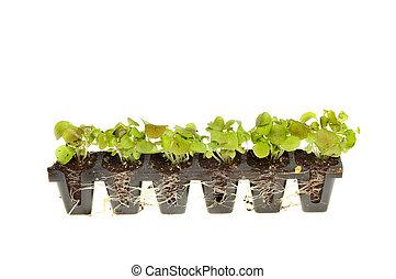 plant, seedlings