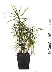 Plant - Standard indoor plant dracaena marginata, also...