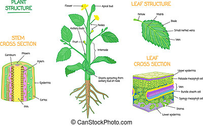 Plant structure and cross section botanical biology labeled ...