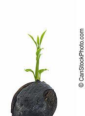 plant, tuinieren, copyspace, het tonen, agricultur, jonge, witte