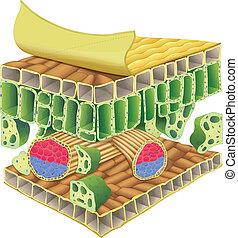 plant vascular tissue - Cross section of plant vascular...