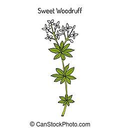 plant, versnapering woodruff, galium, medicinaal, odoratum