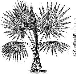 Plant Washingtonia filifera