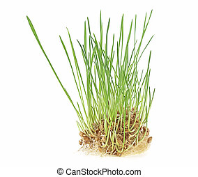 Plant wheat with roots isolated on a white background