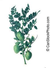 Plant with beans of cicer arietinum l